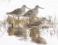 Willapa NWR - Shorebirds