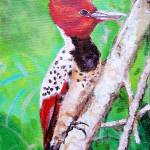 """Endangered  Caatinga Woodpecker"" by adriennemyles"
