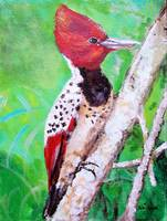 Endangered  Caatinga Woodpecker