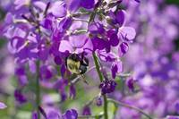purple wildflower bee close