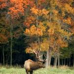 """Elk with Autumn Colors"" by LarryBohlin"