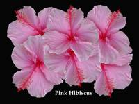 Pretty in Pink Hibiscus_edited-3