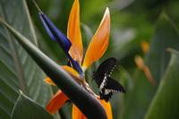 Butterfly, Strelitzia and company