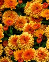 Burnt Orange Chrysanthemum