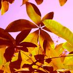 """Backlit Tree Leaves 1"" by AmyVangsgard"