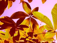 Backlit Tree Leaves 1