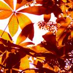 """Backlit Tree Leaves 2"" by AmyVangsgard"