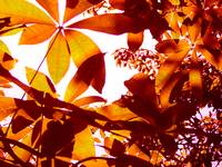 Backlit Tree Leaves 2