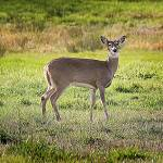 """Julia Butler NWR_White-tailed Deer"" by markwhitesell"