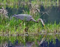 Nisqually NWR_Great Blue Heron #1