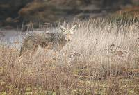 Nisqually NWR_Coyote