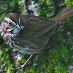"""Nisqually NWR_song sparrow"" by markwhitesell"
