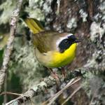 """Nisqually NWR_Yellowthroat"" by markwhitesell"