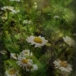 """Dappling Daisies"" by virtually_supine"