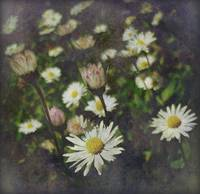 Wild Daisy Dream ...