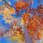 """Birches in Fall"" by JeffStephenson"