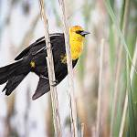 """Ridgefield NWR_Yellow-headed Blackbird #1"" by markwhitesell"
