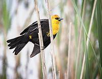 Ridgefield NWR_Yellow-headed Blackbird #1