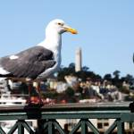 """Sea Gull over Coit Tower"" by PadgettGallery"