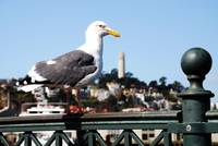 Sea Gull over Coit Tower