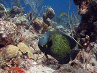 IMG_7142-Angelfish