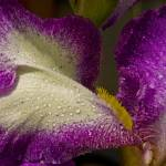 """Bearded Iris"" by WayneScherr"
