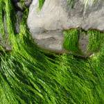 """""""Seaweed"""" by pauldraws"""