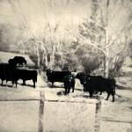 """Nine Cows"" by putnam"