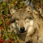 """""""Wolf"""" by snappyimpressions"""