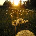 """Dandelion Forest"" by leighphotoarts"