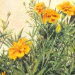 """Monarch and Marigolds"" by janetsart"