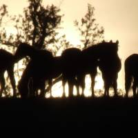 Cowboy Sunset Art Prints & Posters by Rashell R. Hart