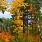 """Virgin White Pine and Fall Color"" by Jimbrekke"