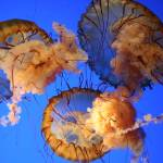 """""""jellys in the deep blue"""" by phantasyphoto"""