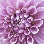 """Flower in Shades of Purple 1"" by mjphoto-graphics"