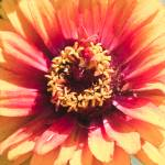 """Bright Flower in shades of yellow and red"" by mjphoto-graphics"