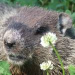 """Beaver in clover"" by Hartphotography"