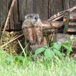 """Woodchuck Pose"" by Hartphotography"