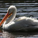 """White Pelican Ripple Waters"" by wingsdomain"
