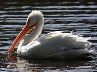 White Pelican Ripple Waters