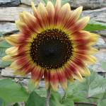 """""""Full Frontal Sunflower"""" by LivingGaia"""