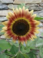 Full Frontal Sunflower