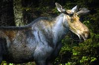 Moose by Gregory Carter