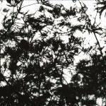 """Japanese Maple 1"" by kreinhardt"