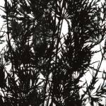 """Japanese Maple 2"" by kreinhardt"