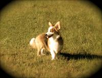 Corgi in the Sunlight