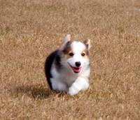 Corgi on the Run