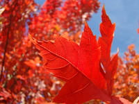 RED FALL LEAF Autumn Leaves Art Prints Canvas