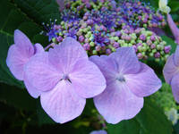 HYDRANGEA FLOWERS Purple Floral Art Baslee