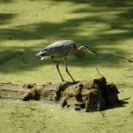 """Heron on a Log"" by LivingGaia"